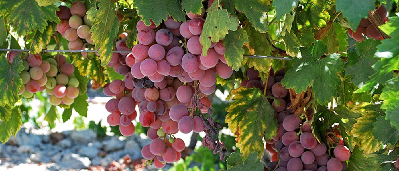 Jerez grapes